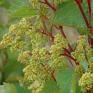Vine - Flor de Bach